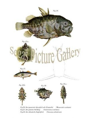 Japanese Skewers fish or a sting, Stickleback, Atlantic Journal Fish